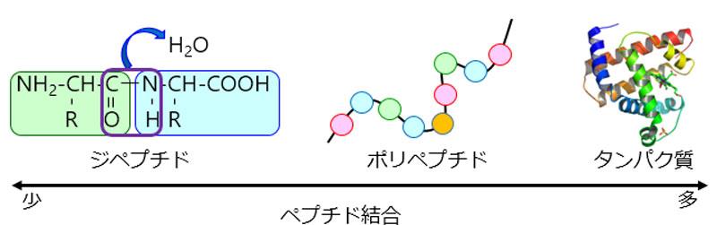 アミノ酸とは? | 日本分光株式会社